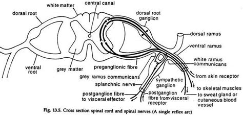 spinal cord section diagram peripheral nervous system with diagram animals