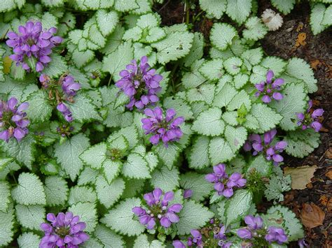 purple dragon dead nettle grimm s gardens