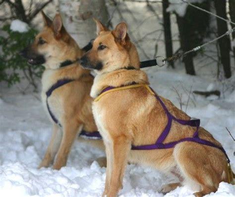 chinook puppy chinook big breeds breeds picture