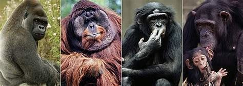Great apes | WWF