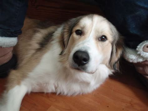 golden retriever st bernard mix st bernard lab collie mix a bigger with less health problems maybe pets
