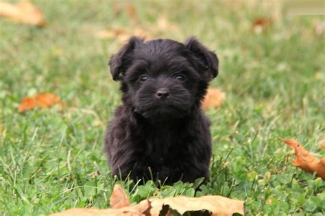 yorkie poo rescue yorkie barking is your terrier barking breeds picture