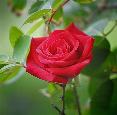 themes of rose flowers garden single flower beauty rose red wallpaper