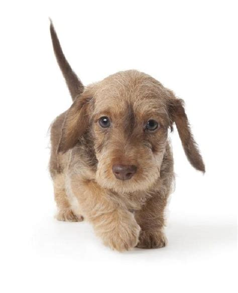 25 Best Ideas About Dachshund Puppies On Wiener Dogs Sausage Dogs And