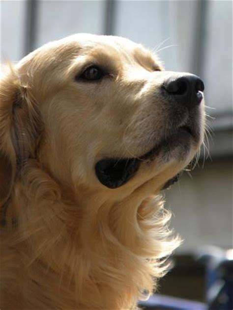 golden retriever study golden retriever lifetime study seeks to improve health for all dogs animal