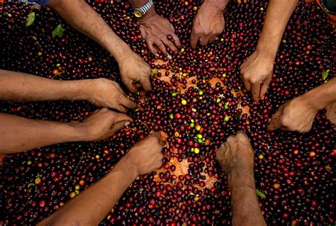 Free picture: agricultural, programs, projects, assist, coffee, farmers, growing, good, harvest