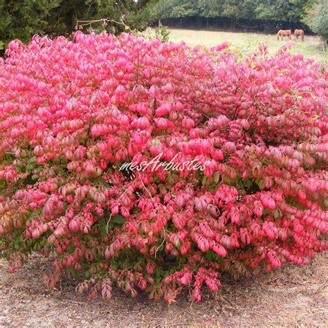 Arbuste Fleuri Feuillage Persistant by Vente Arbustes Caducs