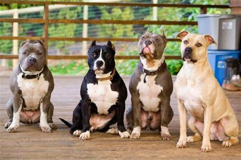 photos of pits pitbull kosova pitbull family