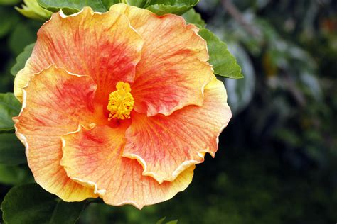 very large hibiscus flower download links free images