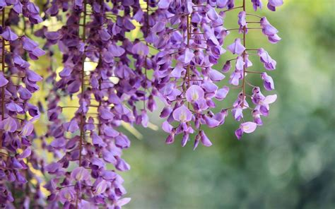 wisteria flower wisteria wallpapers wallpaper cave