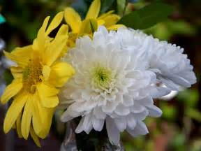 Chrysanthemum by Chrysanths Flowers Dendranthema Grandiflora Tzvelev