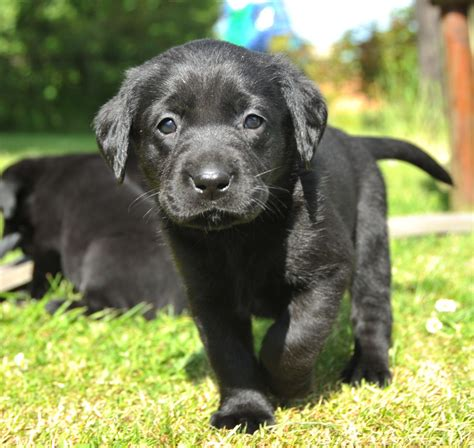 puppy labs for sale black lab pups for sale rugby warwickshire pets4homes