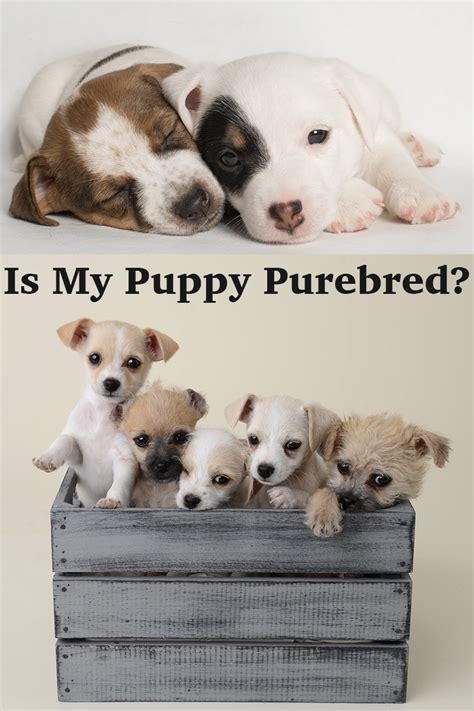 your purebred puppy how to tell if a is purebred the happy puppy site