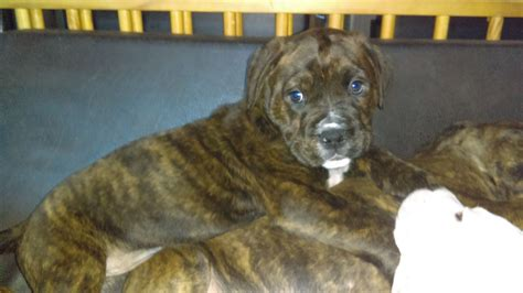 boxer x rottweiler puppies boxer x rottweiler south molton pets4homes