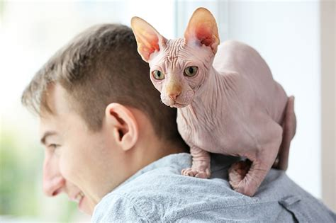 Sphynx Cats   Pet Care Facts