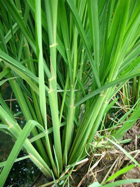 Pupuk Npk Mutiara Untuk Padi gambar mencoba menggunakan pupuk npk mutiara tanaman padi