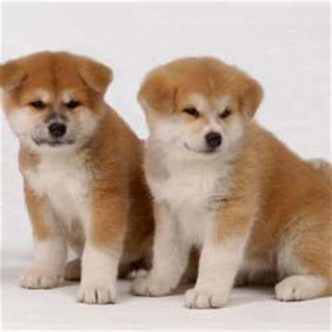 akita puppy cost japanese akita puppies