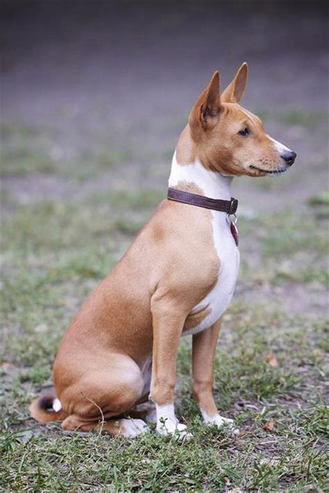 basenji by matthew clemente via flickr paws and