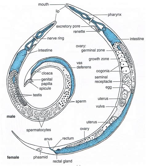 diagram of nematode the gallery for gt nematode diagram