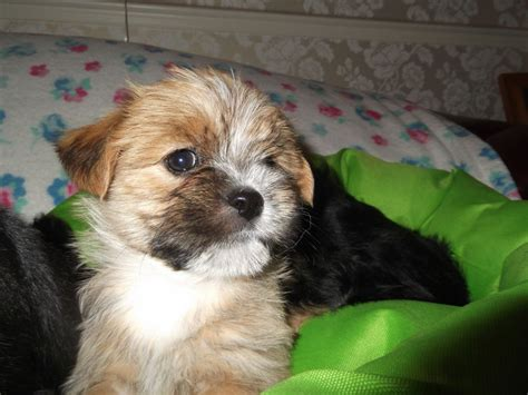 lhasa apso x yorkie mini yorkies for sale 380 posted 11 months ago for sale dogs breeds picture