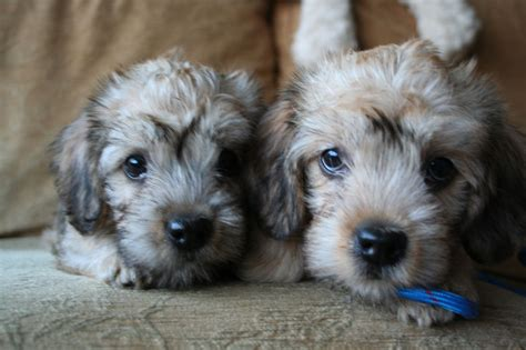 dandie dinmont terrier puppies kc registered dandie dinmont terrier puppies wigan greater manchester