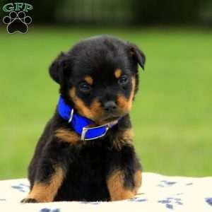 rottweiler puppies in pa rottweiler puppies for sale in pa