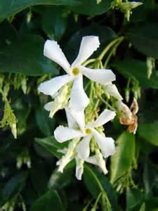 little white flowers on a vine by emmal27 on deviantart
