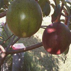 Bibit Eksotic Kelengkeng jual pohon terlengkap murah lazada co id