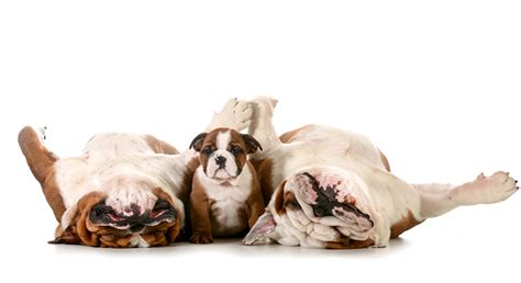 wallpaper puppies bulldog dog funny   animals white background