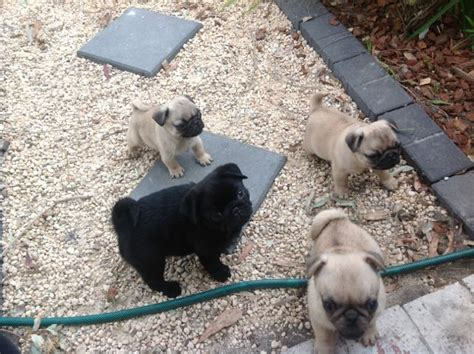 pug breeders glasgow beautiful purebred pedigreed pug puppies glasgow lanarkshire pets4homes