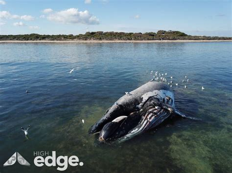 boatswain point dead whale washes up at boatswain point naracoorte herald