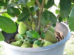 Bibit Nangka Sayur teknik menanam buah nangka pot buah lebat tanaman bunga hias
