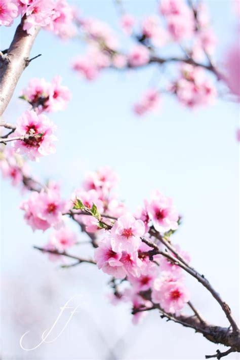 mandorli in fiore festa dei mandorli in fiore foto e fornelli