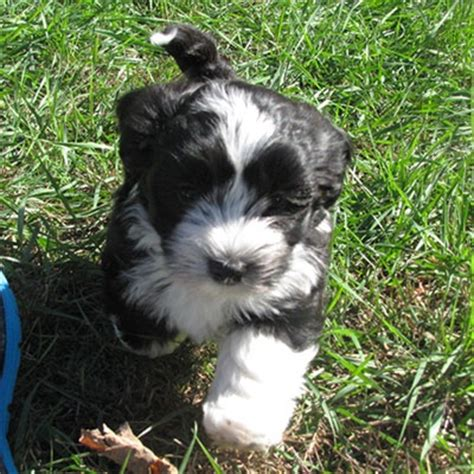 havanese massachusetts homerun havanese puppies ma breeders i like want a havanese puppys