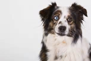 le berger australia 10 races de chiens au look incroyable le berger australien