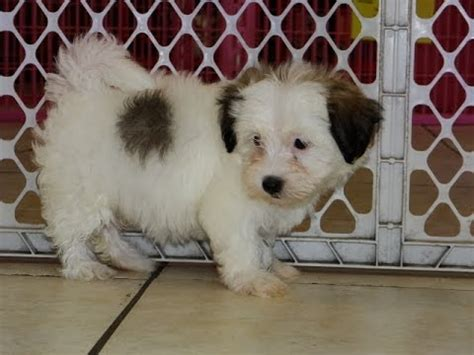 puppies for sale green bay wi hava poo puppies for sale in green bay wisconsin wi eau waukesha