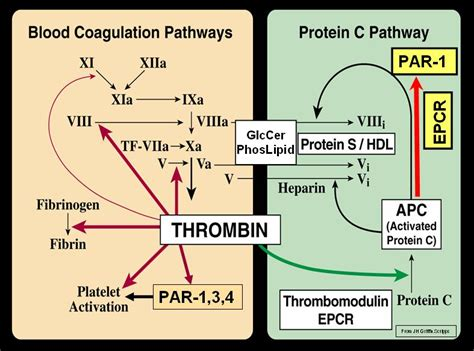 c protein coagulation 심슨형아 blood coagulation and protein c pathway