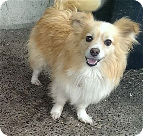 pomeranian rescue washington state pet not found
