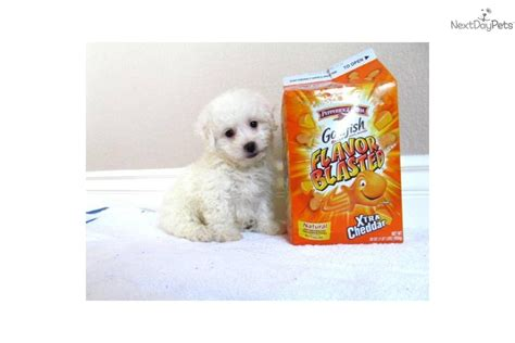 puppies for sale in san diego ca maltipoo puppies for sale san diego ca tiny breeds picture breeds picture
