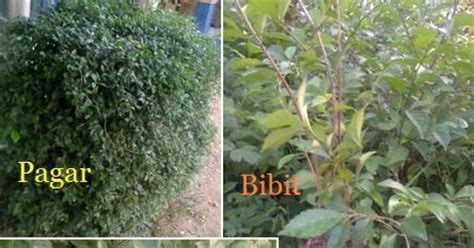 Tanaman Pagar Teh Tehan Tanaman Tetehan wirausaha tanaman teh tehan sebagai pagar dan tanaman border