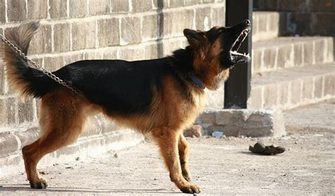 best dogs for protection 7 best dogs for protection what makes a great guard why