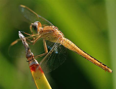 bennet porto garibaldi dragonfly nel delta po ferrara24ore