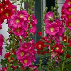 Tall Flowering Plant - problems with hollyhocks garden guides