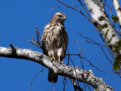 broad winged hawk identification all about birds