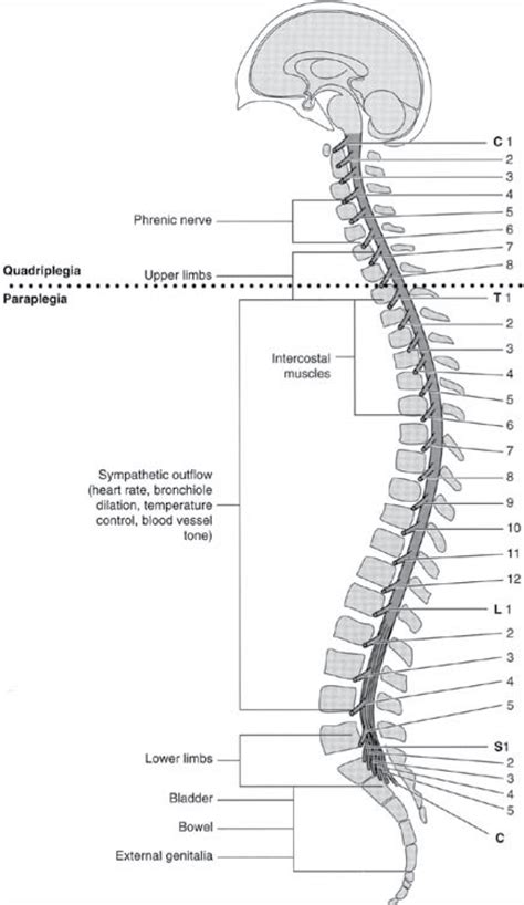 three sections of the spine spinal cord injury critical research from pva mmrf