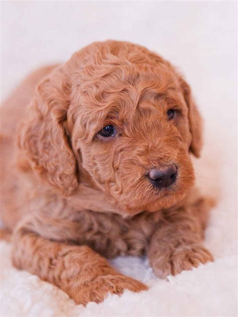 mini goldendoodles massachusetts mini goldendoodle puppy for sale lovable cuddly