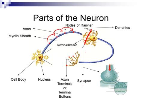 what part of a neuron houses the nucleus what part of a neuron houses the nucleus 28 images neurons cns ho1 anaphysio