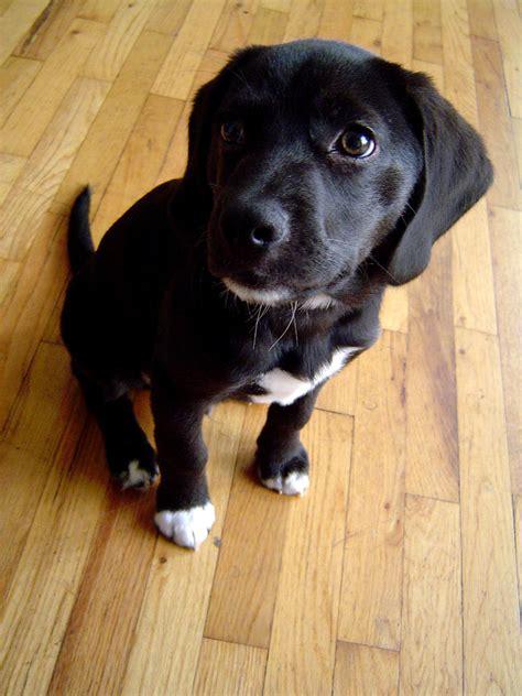 black beagle puppies beagle mix beagles and black labs on