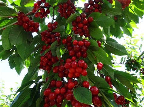 fruit tree picker fresh fruit picking your own 171 parkway orchards