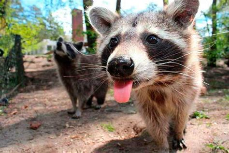 what to do if a raccoon is in your backyard best raccoon repellents and electronic repellers